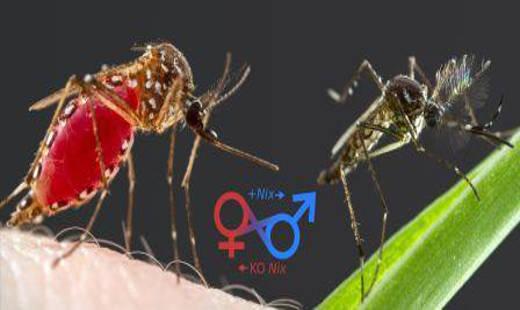 Mosquitoes Photo