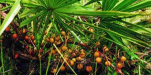 Saw palmetto's help for prostate